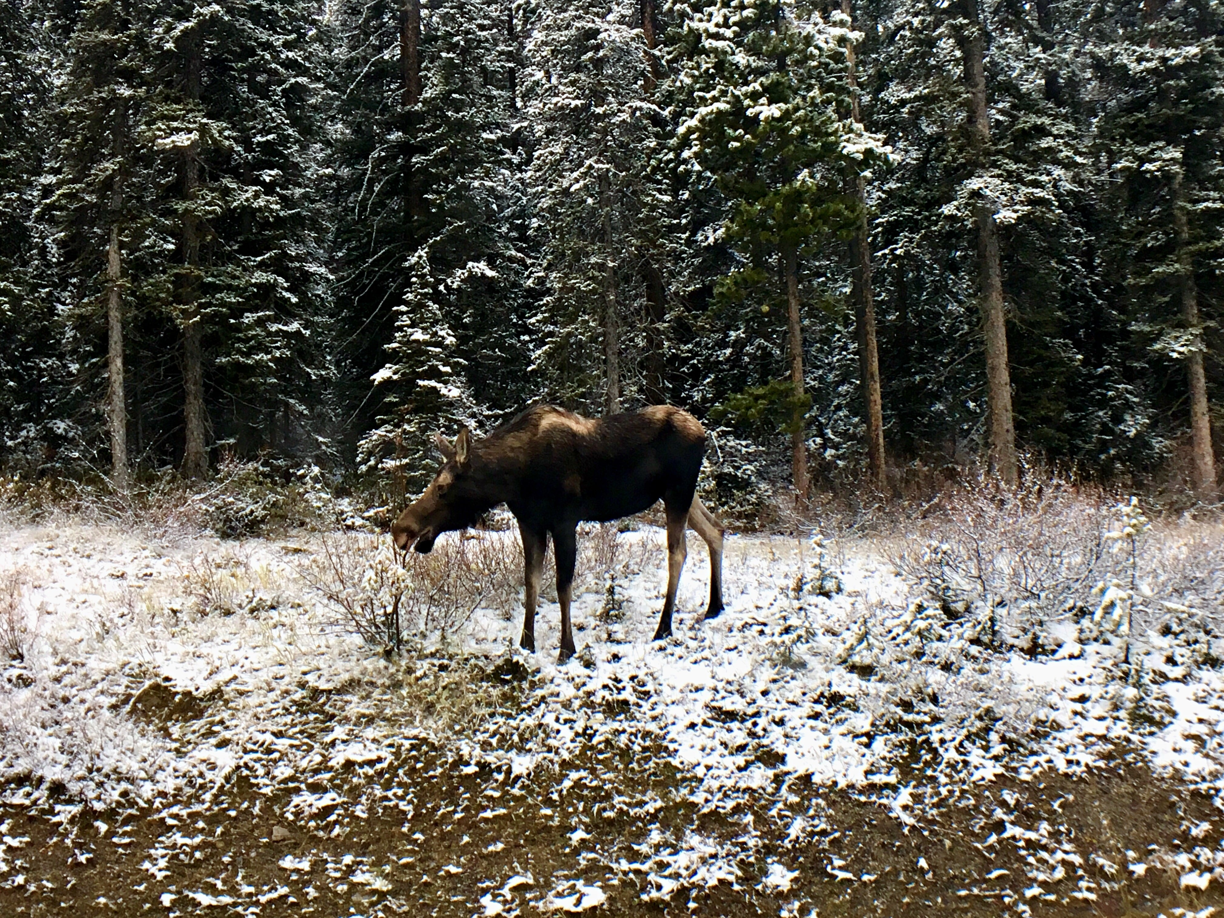 A beautiful moose eating on the side of the road in Banff National Park!