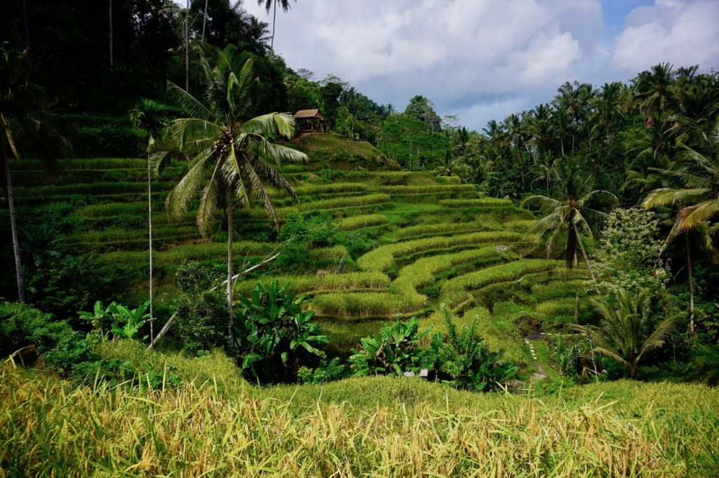 Lush green rice paddies on the island of Bali.
