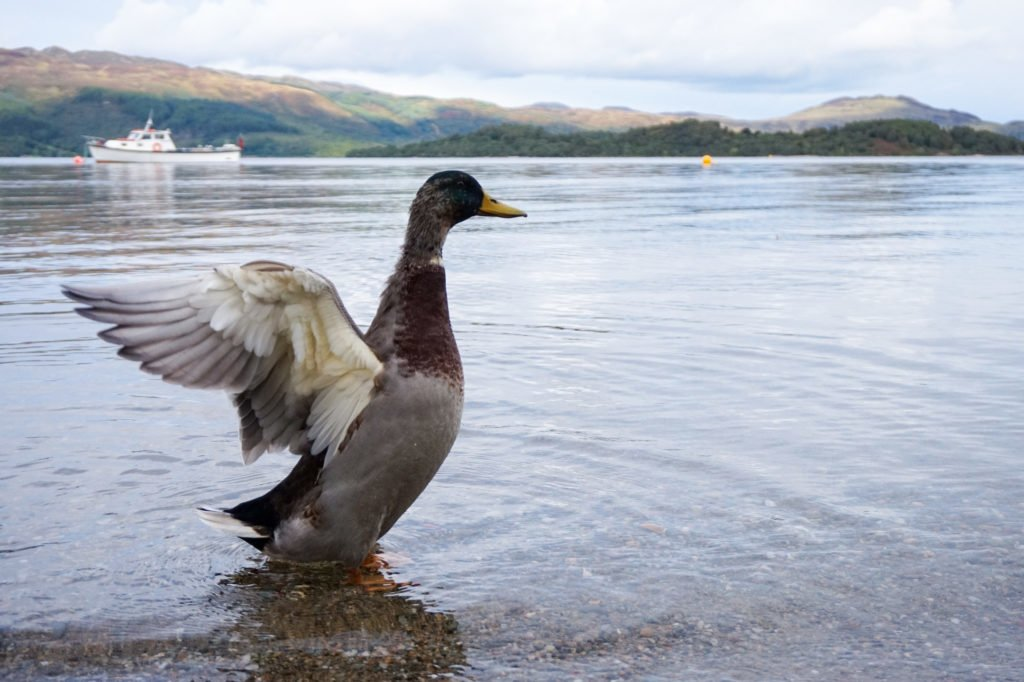 Ducks on Lake Lomond •3-Day Tour to Skye, The Highlands, and Loch Ness | The Wanderful Me