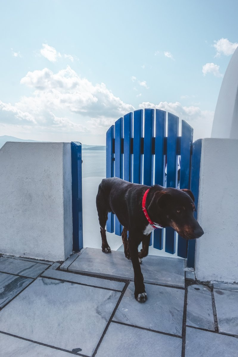 Cute doggo on Santorini. • Day Trip to Santorini from Athens Guide.