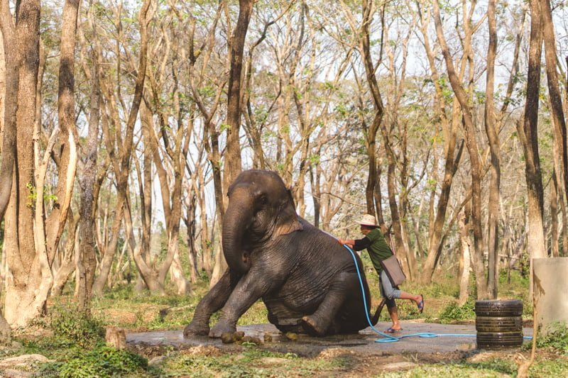 An elephant getting a cheeky bath from one of the mahouts.
