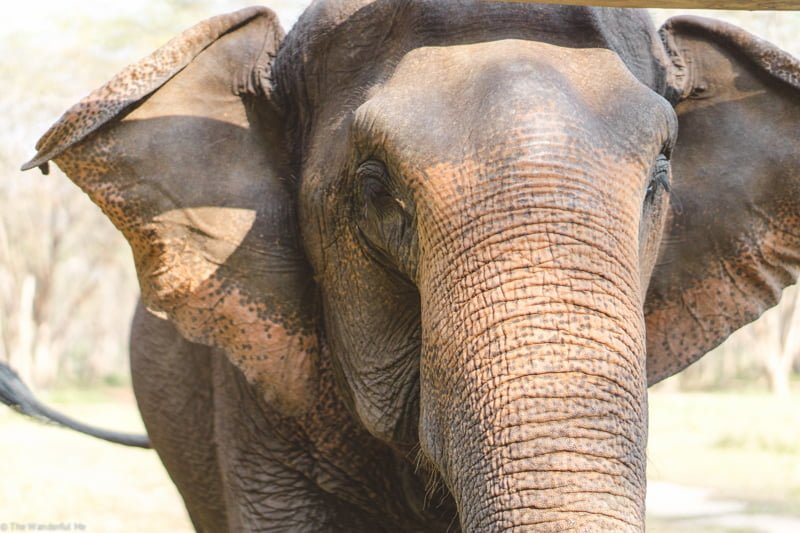 An up-close shot of one of the elephants fluttering her ears back and forth, telling everyone she's happy.