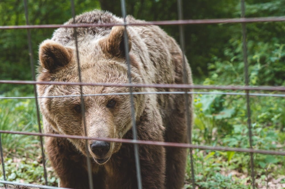 A brown bear stares intensely in the camera with a content face of happiness.