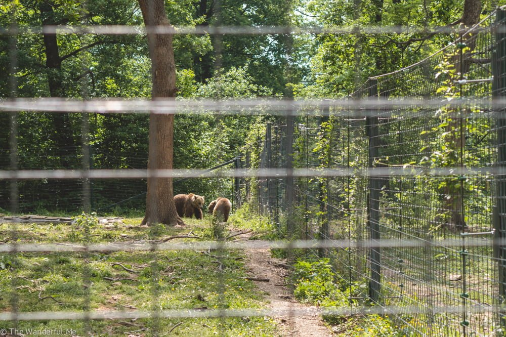 Two bears play around with each other in their grassy fence area.