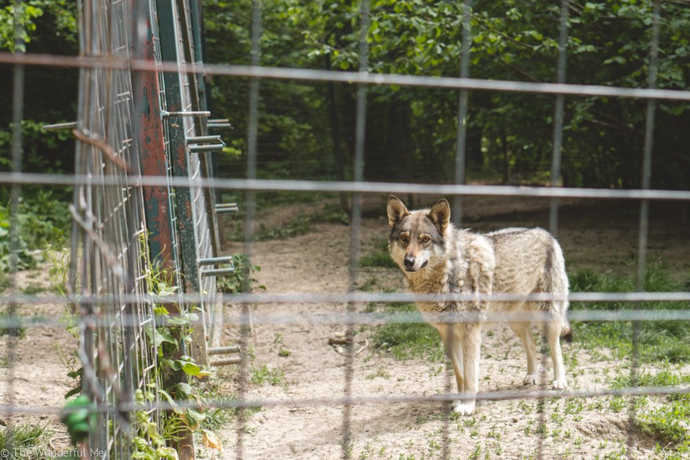 A rescued wolf dog looks curiously through the fence at Libearty Sanctuary visitors.