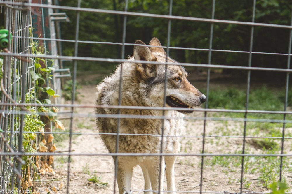Not only are there rescued bears at the Libearty Bear Sanctuary in Zarnesti, there are also rescued wolves!