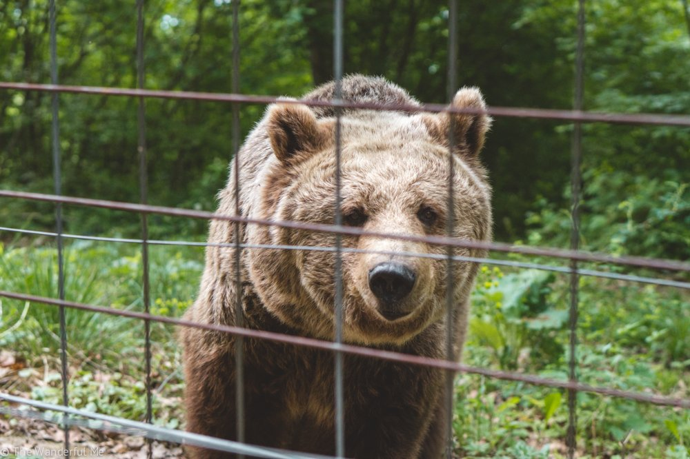 A brown bear looks straight into the camera with a happy, content face of someone who's found a forever home.