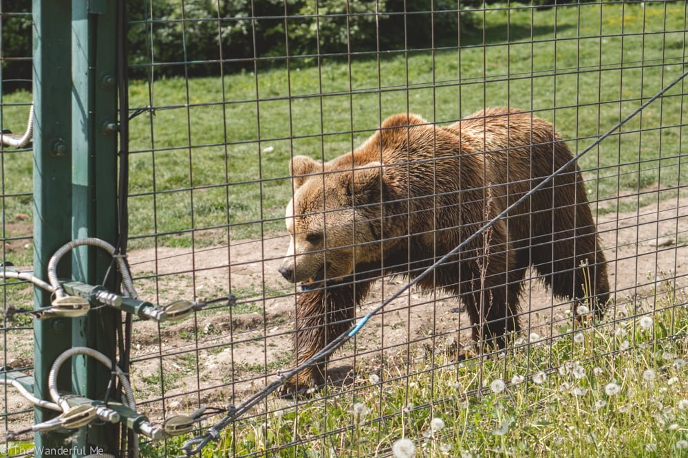 A fluffy Romanian bear makes its way across the green space it has at the sanctuary.