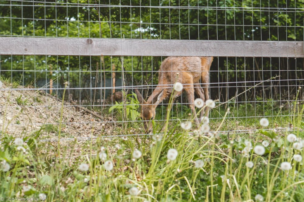 Rescued deer have also made a home at the Libearty Bear Sanctuary Zarnesti!