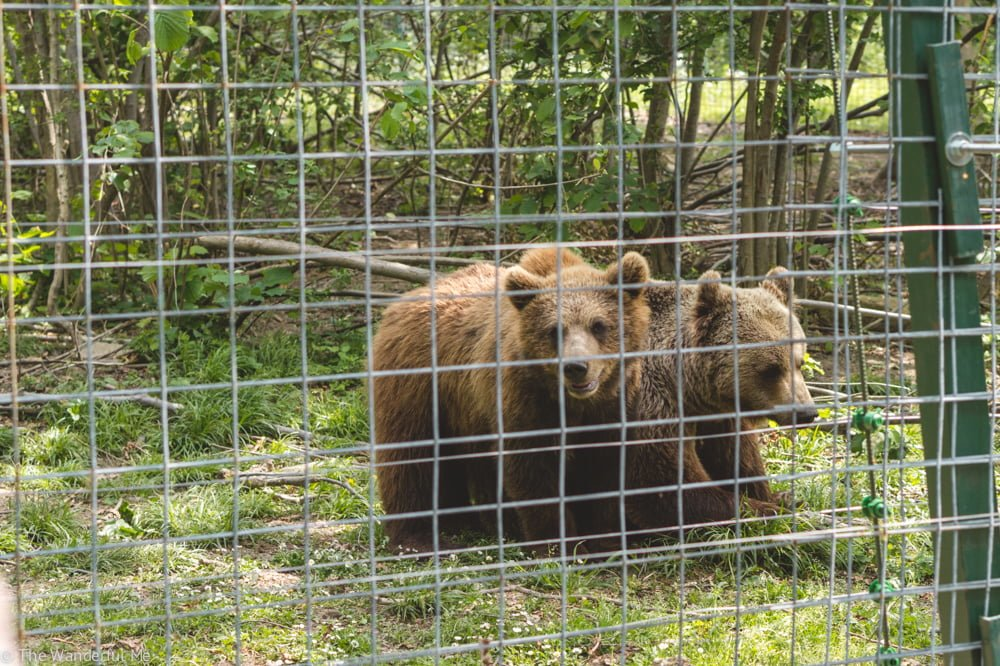 Two baby brown bears play around in their fenced area.