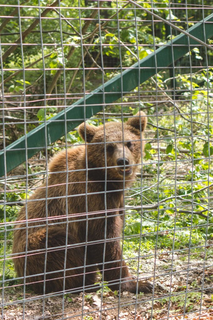 A cute little brown bear smiles at the camera through the fence.