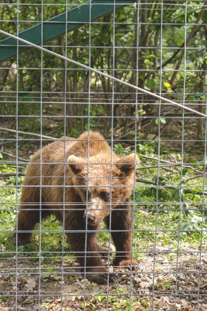 An adorable baby brown bear hovers at the fence, greeting those visiting the Libearty Bear Sanctuary.