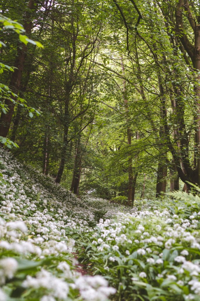 A fairytale setting in North Wales; white flowers in bloom and the glow of green in a forest.