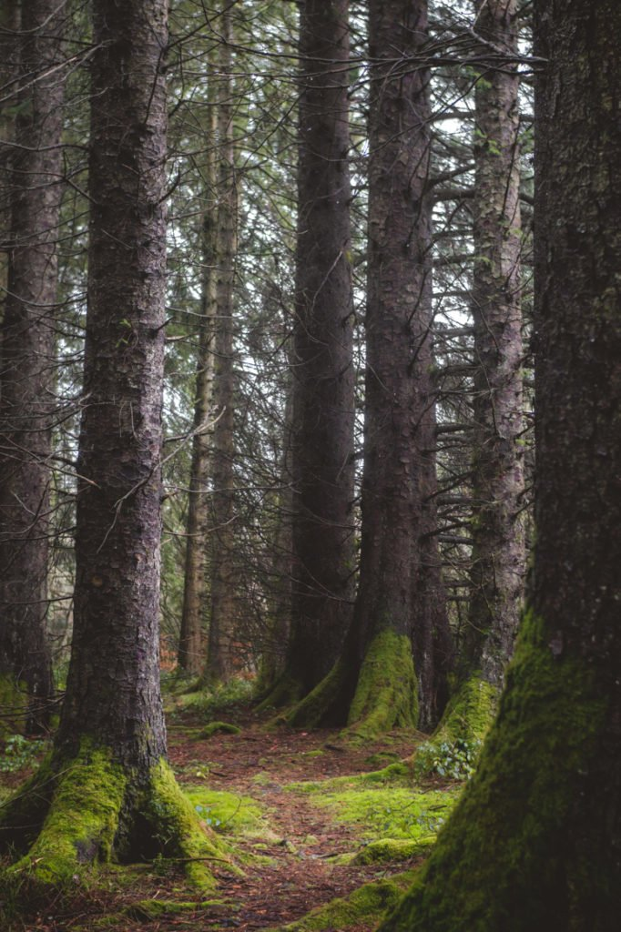 Towering trees with blankets of moss in Wales.