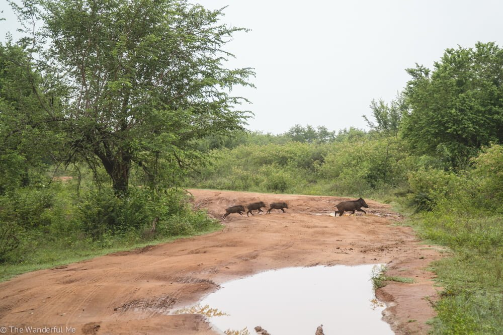 A family of wild boar, complete with the mom and three babies, run across the road to distance themselves from our safari jeep.