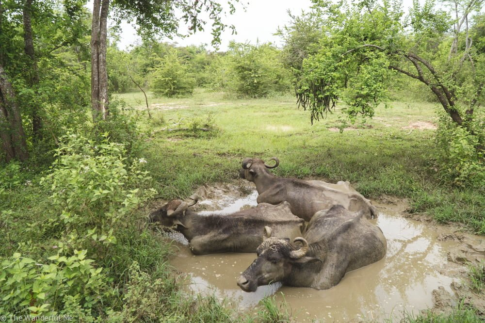 Three water buffalos hanging out in a muddy puddle in Udawalawe National Park.