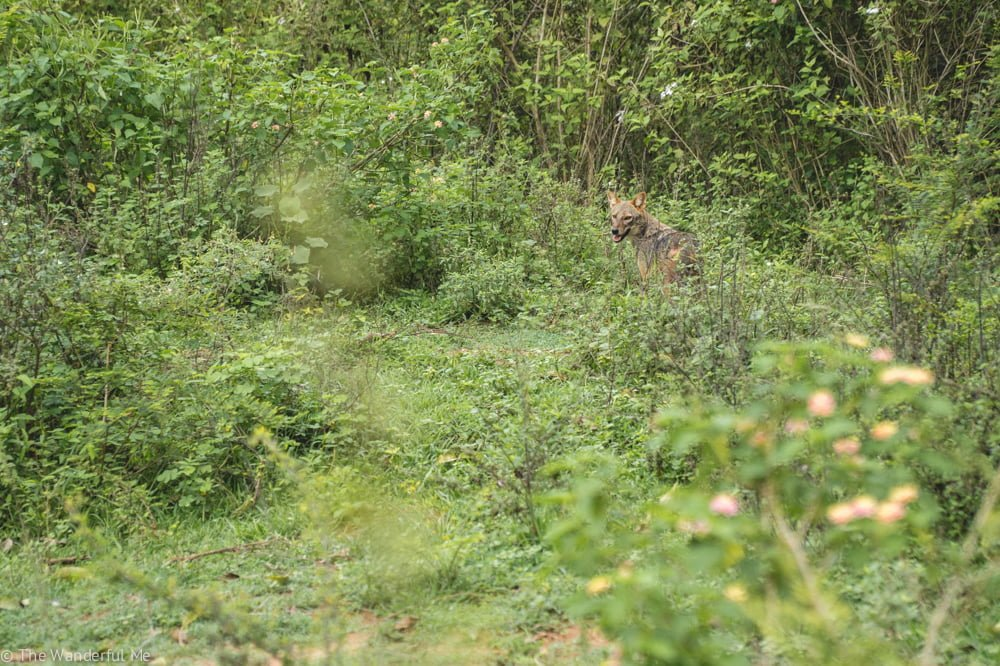 A jackal scurries away into the brush but pauses to take one last peek at us in our Udawalawe safari jeep.
