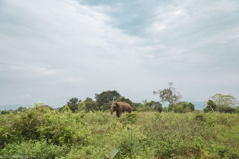 A lonely wild elephant eating in the lush brush of Udawalawe National Park.