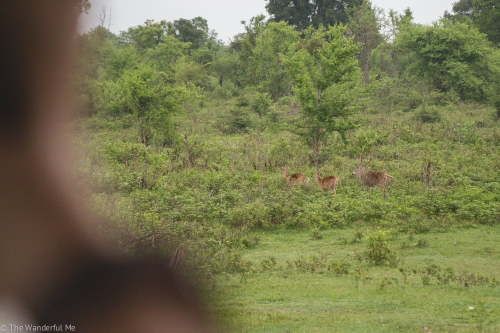 A small pack of spotted deer make their way across the green grass of Udawalawe.