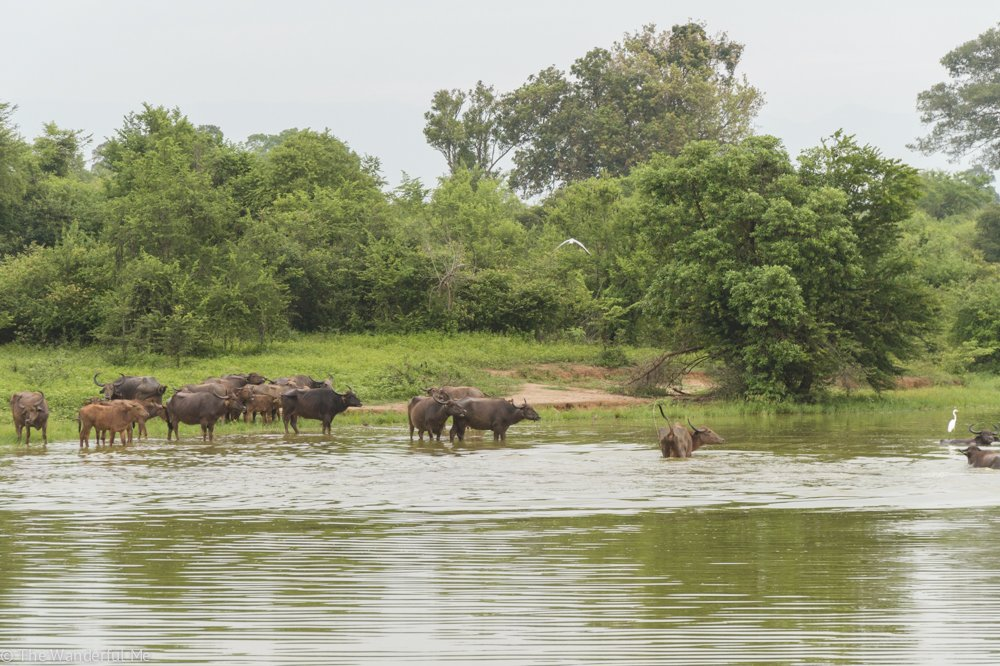A pack of water buffalo congregate in a small lake, splashing around and wading below the waters to snack on some weeds.