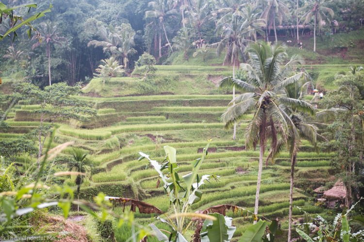 Lush rice paddies in Ubud, Indonesia, another popular area in Southeast Asia.