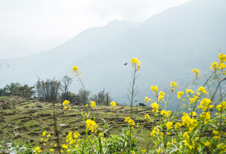 Yellow flowers dotted the countryside with lush rice fields and Sapa mountains in the background.